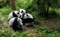 سفر به چنگدو چین، در یک روز شهر پانداها را ببینید!