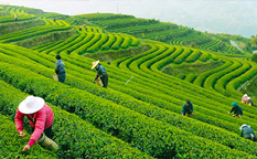 دهکده چای هانگژو ، بهشت سبز چای چینی